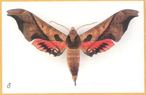 Адемариус дарийский бабочка